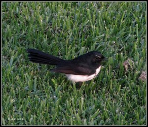 willywagtail_1