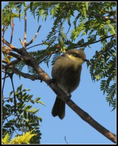 baby singing honey eater