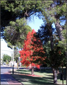 illawarra flame tree_1