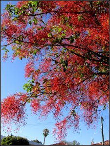illawarra flame tree_10