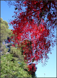 illawarra flame tree_11
