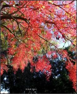 illawarra flame tree_12