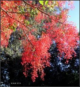 illawarra flame tree_13