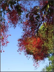 illawarra flame tree_14