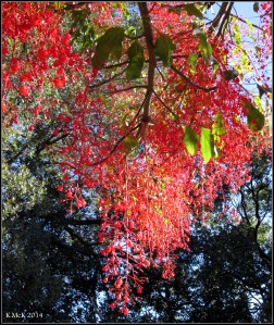 illawarra flame tree_15