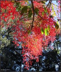 illawarra flame tree_15