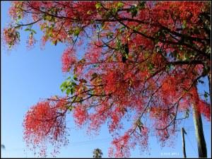 illawarra flame tree_16