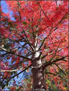 illawarra flame tree_3
