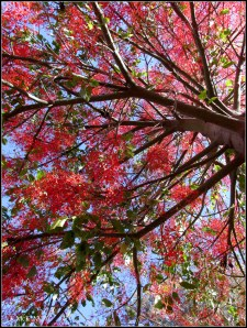 illawarra flame tree_4