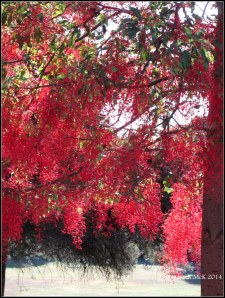 illawarra flame tree_5