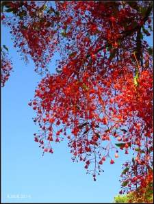 illawarra flame tree_6