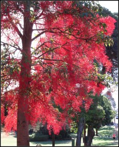 illawarra flame tree_7