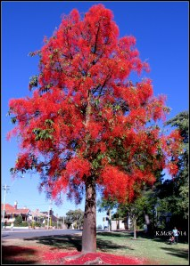illawarra flame tree_8