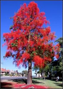 illawarra flame tree_8
