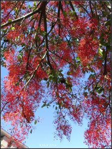 illawarra flame tree_9