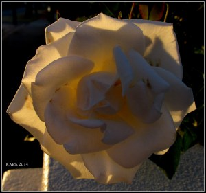 sunset_rose