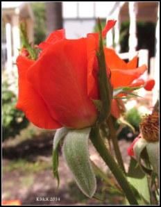 west perth rose