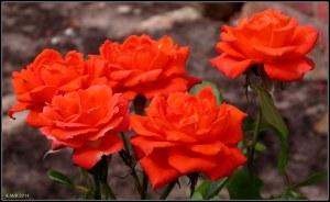west perth roses