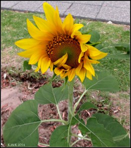 west perth sunflower