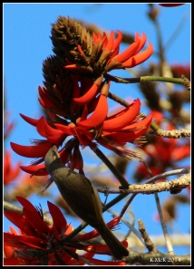 birds_honeyeater_1