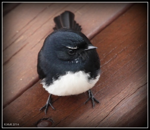 willy wagtail_1