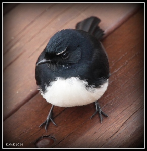 willy wagtail_2