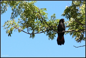 bird_cockatoo