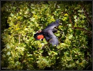 bird_cockatoo_2
