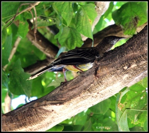 bird_honeyeater