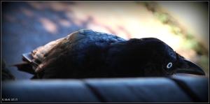 bird_raven_1