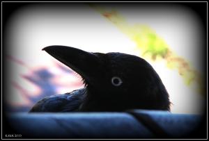 bird_raven_2