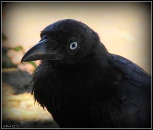 bird_raven_4