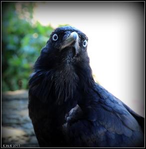 bird_raven_5