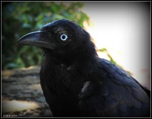 bird_raven_6