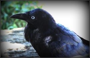 bird_raven_7