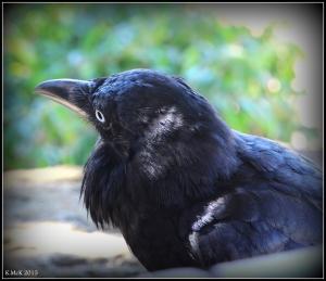 bird_raven_8