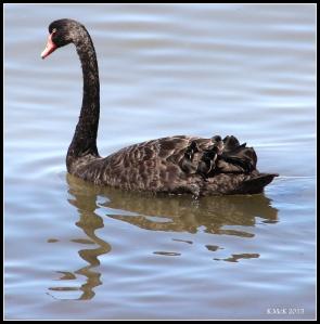 bird_swan_2