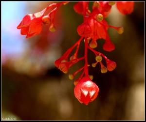 flower_illawarra_5