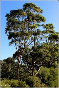 daglish trees_1