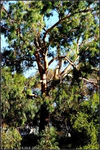 daglish trees_10