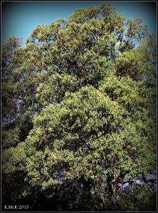 daglish trees_11