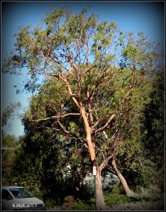 daglish trees_13
