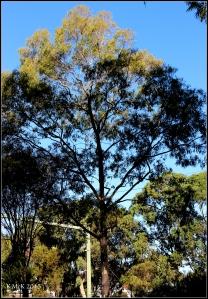 daglish trees_17