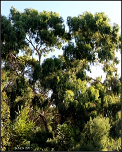 daglish trees_18
