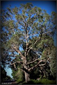 daglish trees_19
