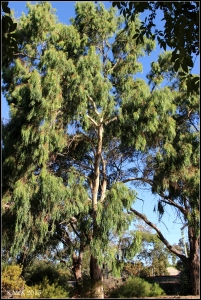 daglish trees_21