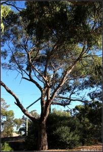 daglish trees_22