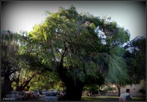 daglish trees_5