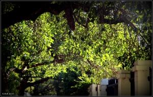 daglish trees_6