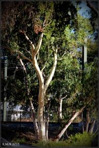 daglish trees_7